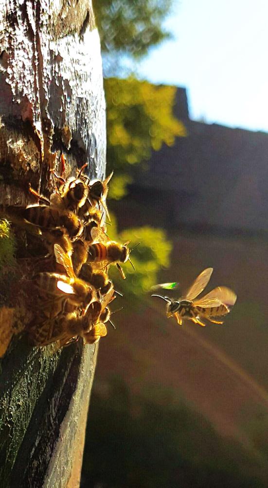 Bienen am Flugloch vom Burg-Zeidler erwehren sich gegen den Wespenandrang