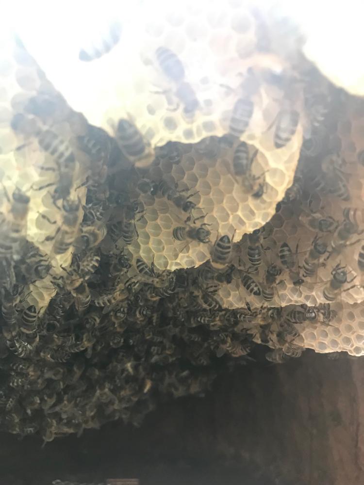Bienen im Bauch des Zeidlers