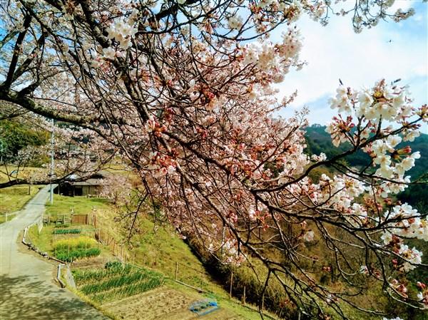 帰る頃には桜もほぼ満開状態。日和舎の朝採り野菜を積み込んで、和気のJAにも寄って帰路へ。