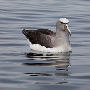 Beautiful withe capped Albatros swimming, South Pacific Ocean, Kaikoura, New Zealand