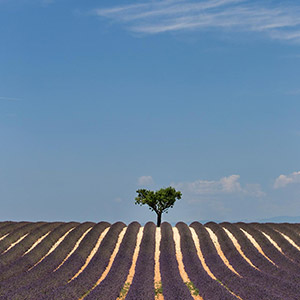 Solitaire Tree at a Lavender Field in beautiful Provence, Summer, Southern France, Europe
