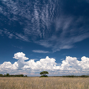 Etosha, Solitaire Tree and white clouds in the Bushland at Etosha National Park, Namibia, Africa
