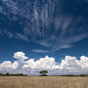 Etosha, Solitaire Tree and white clouds in the Bushland at Etosha National Park, Namibia, Africa