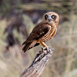 Beautiful Owl sitting on wood, bird of prey, Northern Territory, Outback, Red Center, Australia