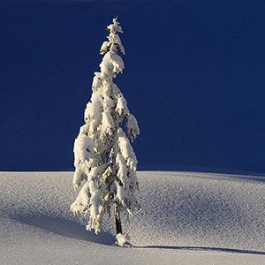 White & Blue - solitaire tree in deep snow and long shadow, Alps mountains, Bavaria, Germany