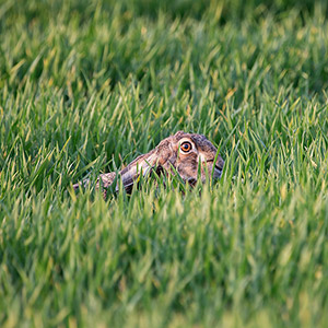 Brown hare adding in the grass, Kuehkopf Nature Reserve, Germany