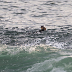 Sea Otter swimming and feeding, Wildlife, Big Sur, Pacific Ocean Coast, California, USA