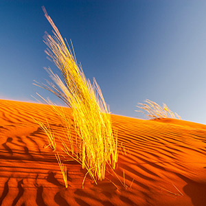 Namib Colors, yellow bush gras orange desert sand glowing in afternoon light, Namibia, Africa