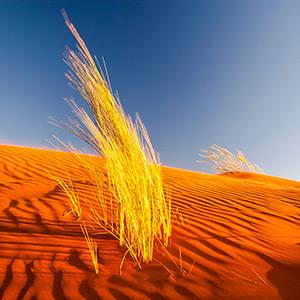 Namib Colors, yellow bush gras orange desert sand glowing in afternoon light, Namibia, Africa