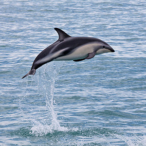 Bottlenose Dolphin Jumping, Whale Watching Kairoura, New Zealand, South Pacific Ocean