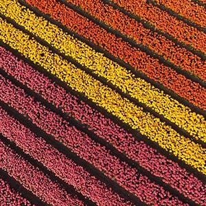 Tulip Field at the Keukenhof Tulip Park, DJI Phantom 3, Drone, Netherlands, Holland, Europe
