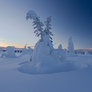 Frozen Trees covered with snow in Finland, Lapland, Riisitunturin National Park in Blue Light near Posio
