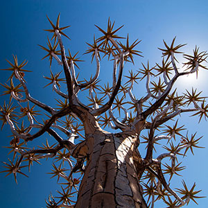 Quiver Tree, Tree against the sunlight in the Kalahari, Desert, Namibia, Africa
