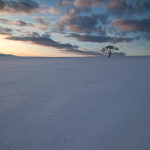 Out there - solitaire tree in deep snow field at sunset, Limburger Land at winter time, Hessen, Germany