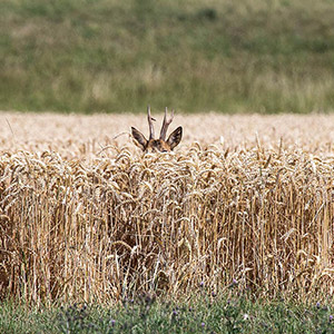 Young Western Roe Deer hiding in a flied, Kuehkopf Nature Reserve, Rhine River, Germany