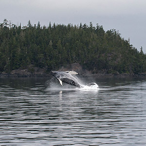 Humpback Whale jumping, Whale Watching, Telegraph Cove, Vancouver Island, British Columbia, Canada