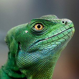 Jurassic Park, Green Leguan with amazing Eyes, Captivity, Zoo, America