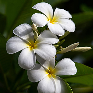White Beautiful Plumeria Blossoms, Bora Bora, French Polynesia, South Pacific Ocean