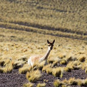 Guanaco at Laguna Miscanti, San Pedro de Atacama, Altiplano, Andes, Chile, South America