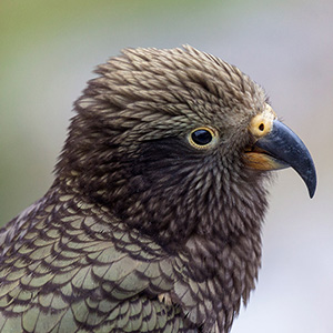 Kea Parrot Beautiful and Intelligent endangered Bord, Southern Alps, New Zealand