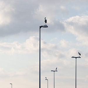 Storks sitting on Street Lights, Ried, Rhine River, Frankfurt, Germany