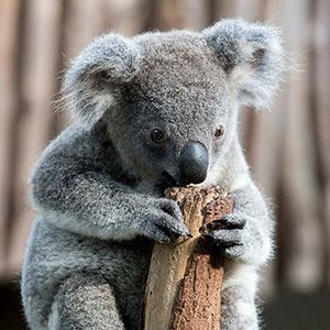 Koala Baby in Brisbane Koala Sanctuary, Queensland, Australia
