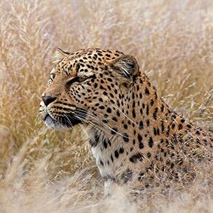Leopard looking, Predator, Desert Grass, Namib Naukluft Park, Namibia, Africa