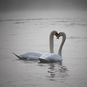 Swan Couple swimming on the foggy Rhine River, Wildlife, Kuehkopf Nature Reserve, Germany