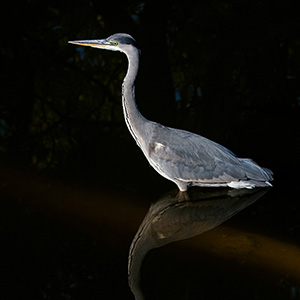 Grey Heron with reflection in the water, Frankfurt Zoo, Germany