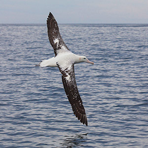Impressive Royal Albatross flying in the South Pacific Ocean, Kaikoura, New Zealand