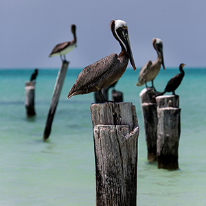 Pelicans sitting on wooden poles, Caribbean Ocean, Holbox, Yucatan, Mexico