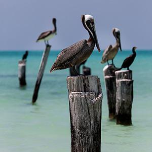 Pelicans sitting on wooden poles, Caribbean Ocean, Holbox, Yucatan, Mexico