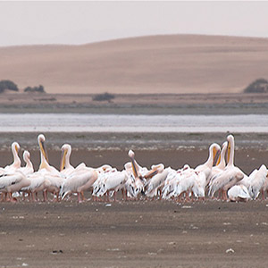 Group of white, rose Pelicans, Lagoon, Desert, Namibia, Africa