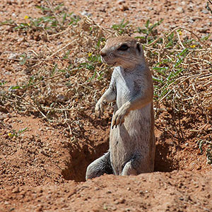 African Squirrel Looking, Wildlife, Namib Naukluft National Park, Namibia, Africa