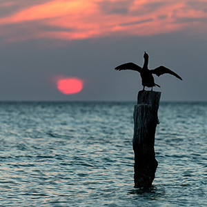 Cormorant drying the feathers, Sunset, Caribbean Ocean, Holbox, Yucatan, Mexico