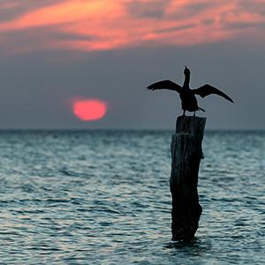 Cormorant drying the feathers, Sunset, Caribbean Ocean, Holbox, Yucatan, Mexico