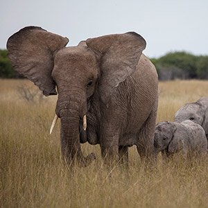 Elephant family with Baby, Wildlife, Etosha National Park, Namibia, Africa