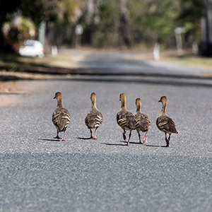Duck family walking along a street, Brisbane, Australia