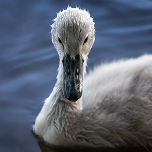 Baby Swan swimming, Ried, Kuehkopf Nature Reserve, Frankfurt, Germany
