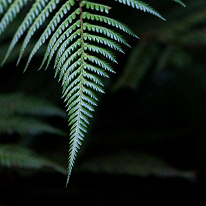 Fern Leave in the Rainforest Nature National Symbol of New Zealand