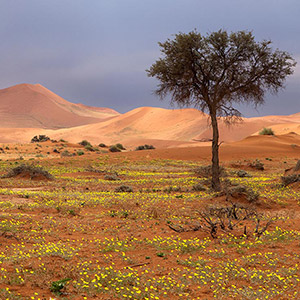 Desert Life, dunes covered with yellow blossoms after rain, Sossusvlei, Namib Desert, Namibia, Africa