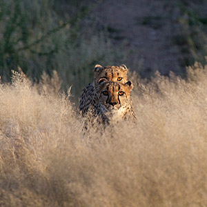 Two Cheetahs in desert grass, Predator, Namib Naukluft National Park, Namibia, Africa