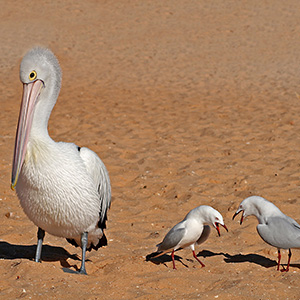 Pelican and two complaining seagulls at Monkey Mia, Coral Bay Beach, Western Australia