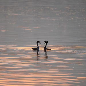 Great Crested Grebe couple flirting on the evening sun, wildlife, Lago di Como, Italy