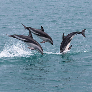 Three Bottlenose Dolphins jumping, Wildlife, South Pacific Ocean, Kaikoura, New Zealand