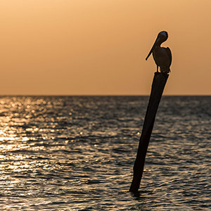 Pelican sitting on a wooden pole in sunset with golden light, Caribbean Sea, Yucatan, Mexico