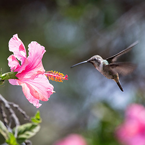 Humming Bird and Blossom, Arica, Pacific Ocean Coast, Chile, South America