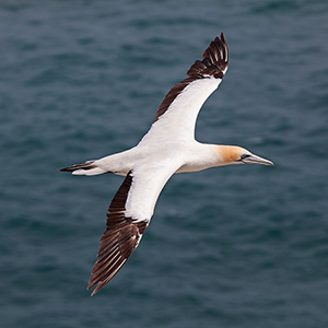 Gannet flying at the Pacific Ocean, Northern Island, New Zealand