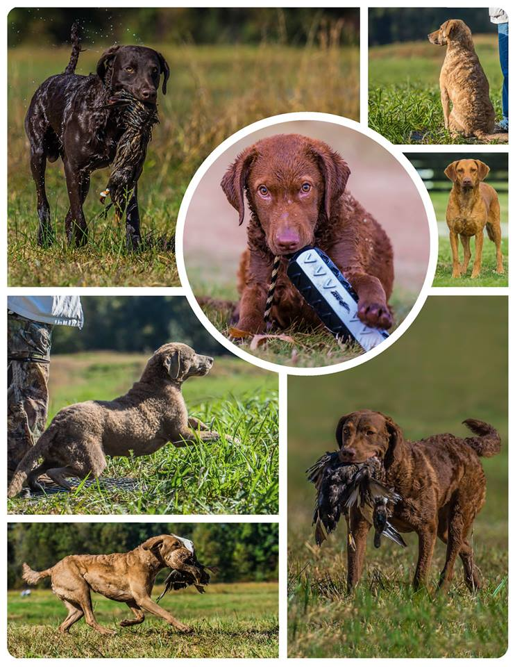 Colors Chesapeake Bay Retriever, CBR, Collage, Kollage, Retriever, Hunting Dogs, Jagdhunde  chessies  chesapeake bay retriever workandtalk work&talk CBR Retrievertreffen Treffen Austausch Training Rassehundetreffen Chessy Meeting