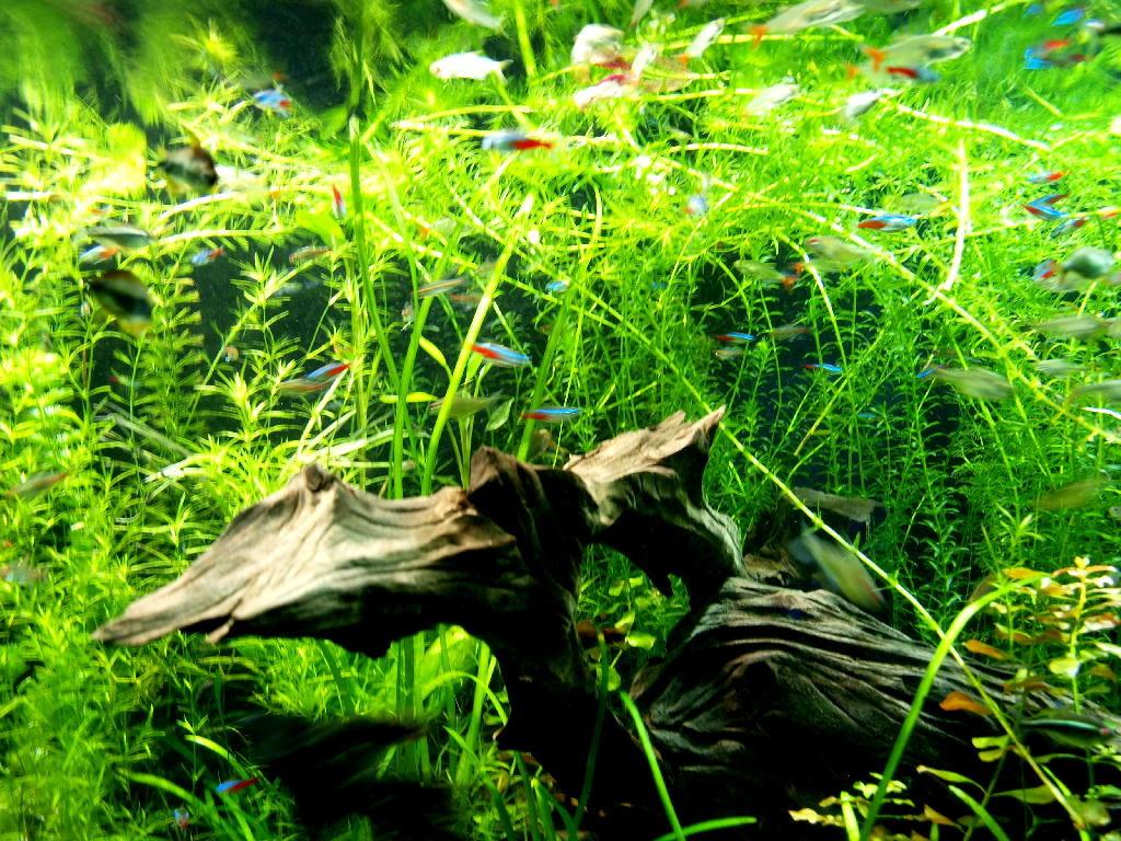 pesci rosso blu tropicali